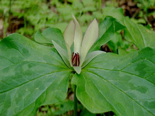 Trillium chloropetalum. Throughout the Santa Cruz Mountains can be found oddly colored flowers, such as greenish cream with a pink picotee