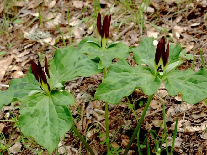 Trillium chloropetalum. In southwestern Santa Cruz County, toadshades are often strangely colored, tending to appear in hues ranging from milk chocolate to dark coffee, sometimes with lime-colored petal bases.