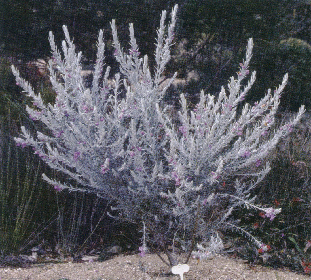 Pacific Horticulture Society | Pacific Plant Promotions – Eremophila nivea