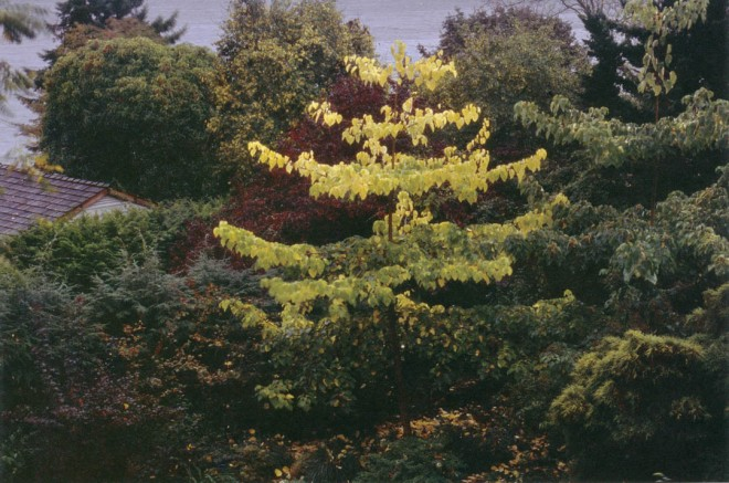 Idesia polycarpa brightens the author's woodland garden in October. Photographs by John Neff