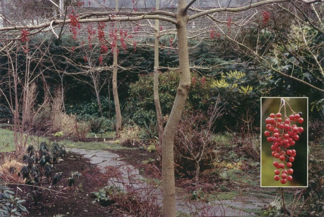 The woodland garden in winter, with yellow spikes of mahonias and pendant clusters of red berries on Idesia polycarpa. Inset photograph by Lynne Harrison