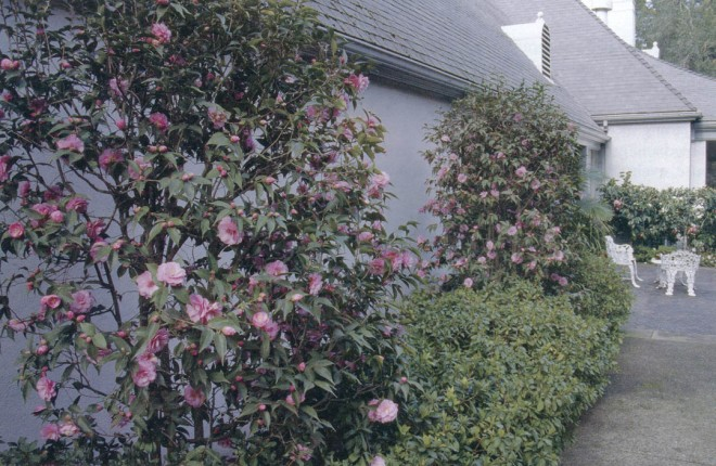 Camellia 'Spring Festival', carefully shaped against the bedroom wall; the distant hedge is C. japonica 'Katie Variegated'. Photograph by RGT