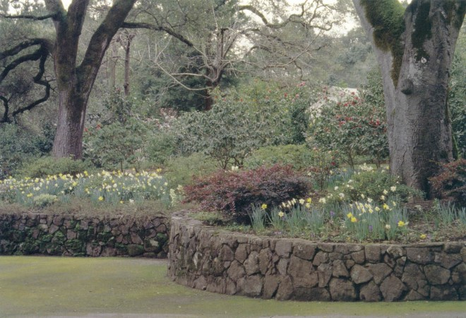 Stone walls retain the gentle hill along the driveway; drifts of Narcissus add to the late winter flowering of camellias and the burgundy foliage of Loropetalum chinense. Photograph by RGT