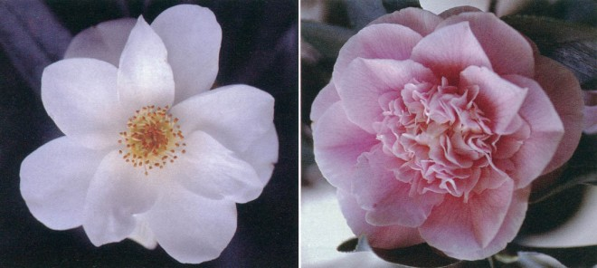 Left: Camellia japonica 'Lily Pons', (single). Author's photograph Right: Camellia japonica 'CM Wilson' (anemone-flowered). Author's photograph