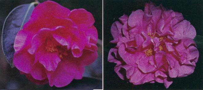 Left: Camellia reticulata 'Kohinor' (semi-double). Author's photograph Right: Camellia reticulata 'Notre Dame' (double). Photograph by Robert Ehrhart