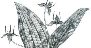 Adder's-tongue or slink-pod (Scoliopus bigelovii). Drawing by Kristen Jakob