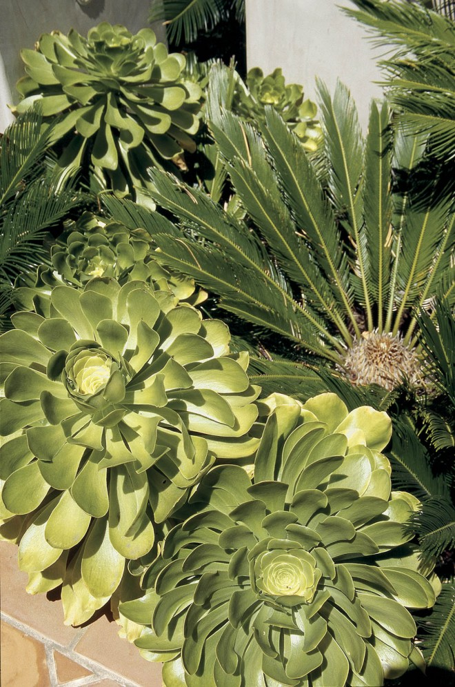 Bold foliage compositions, such as these aeoniums (Aeonium sp.) and cycads (Cycas revoluta), suggest the tropics without being water intensive