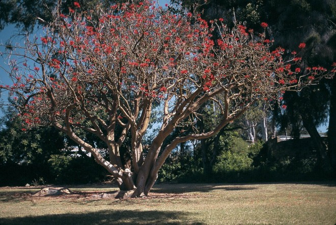 Flowering Erythrina coralloides with distinctive greenish orange bark in  midwinter. Author's photographs