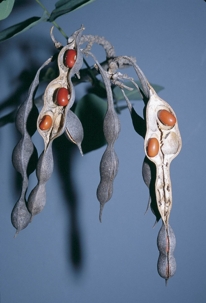 Dull, dark gray seed pods with red seeds