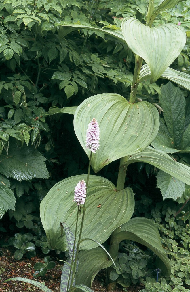The modest spikes of common spotted orchid (Dactylorhiza fuchsii) against the bold leaves of a corn lily (Veratrum)