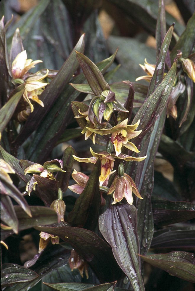 Epipactis gigantea 'Serpentine Night' displays purplish foliage and curiously colored flowers