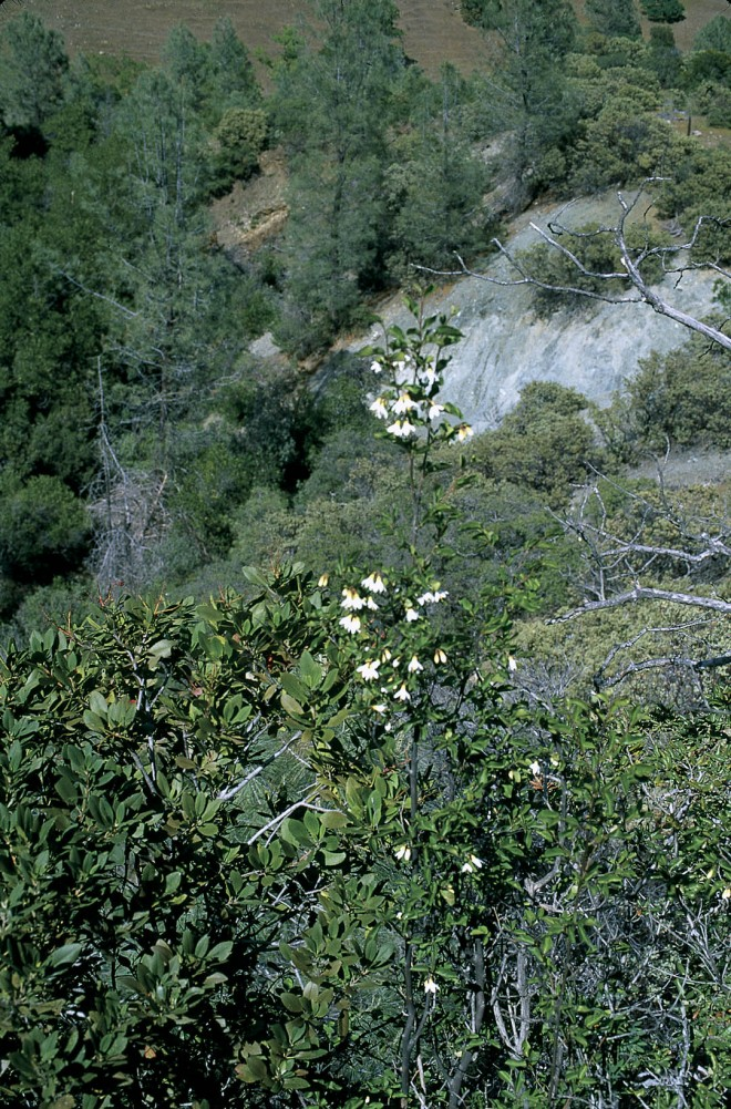 Styrax redivivus on Walker Ridge, Colusa County, California, with toyon (Heteromeles californica) to the left and foothill pine (Pinus sabiniana) in the background. Author's photographs