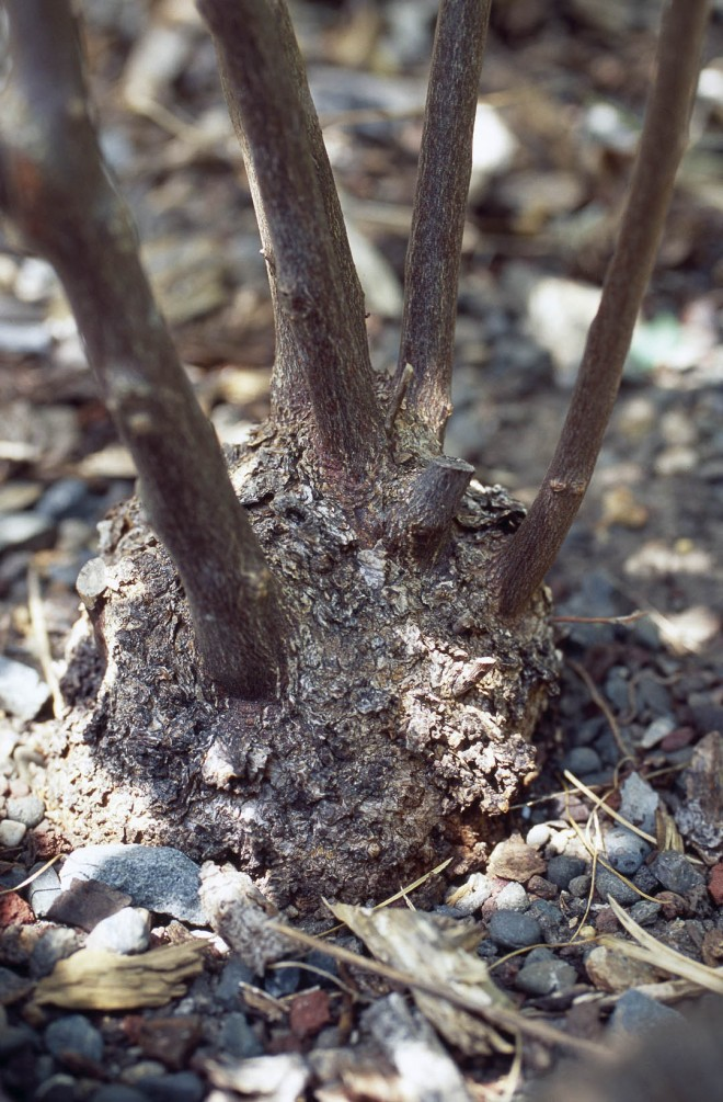 The swollen base of Styrax redivivus,  a survival strategy in fire-prone regions