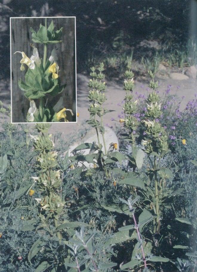 Salvia spathacea 'Avis Keedy'. Author's photographs