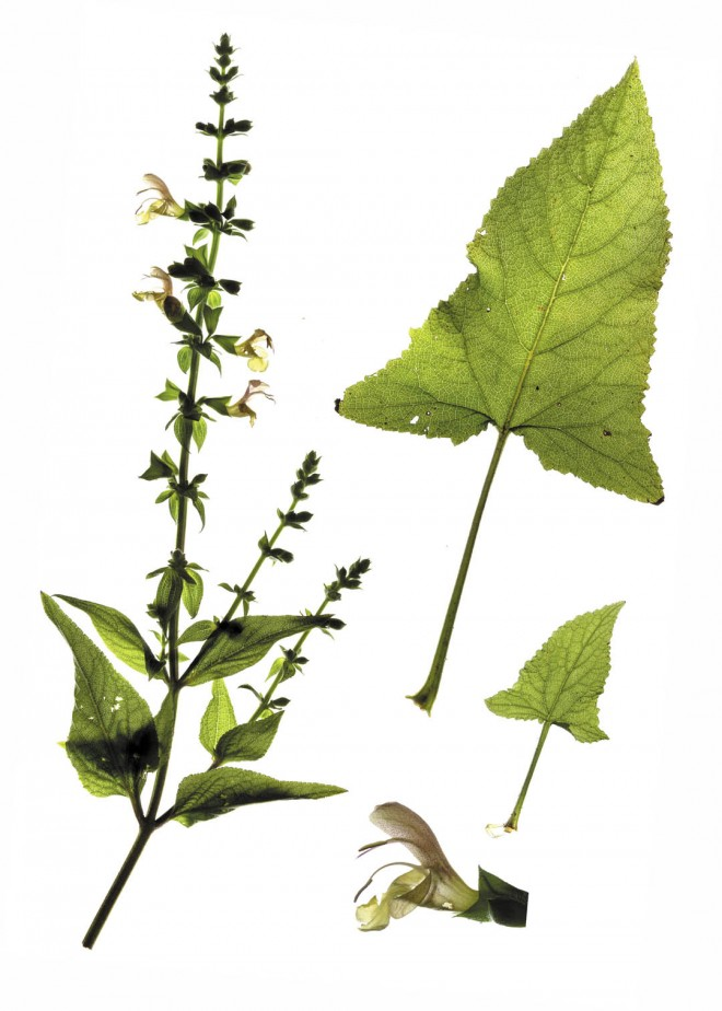 Salvia nubicola