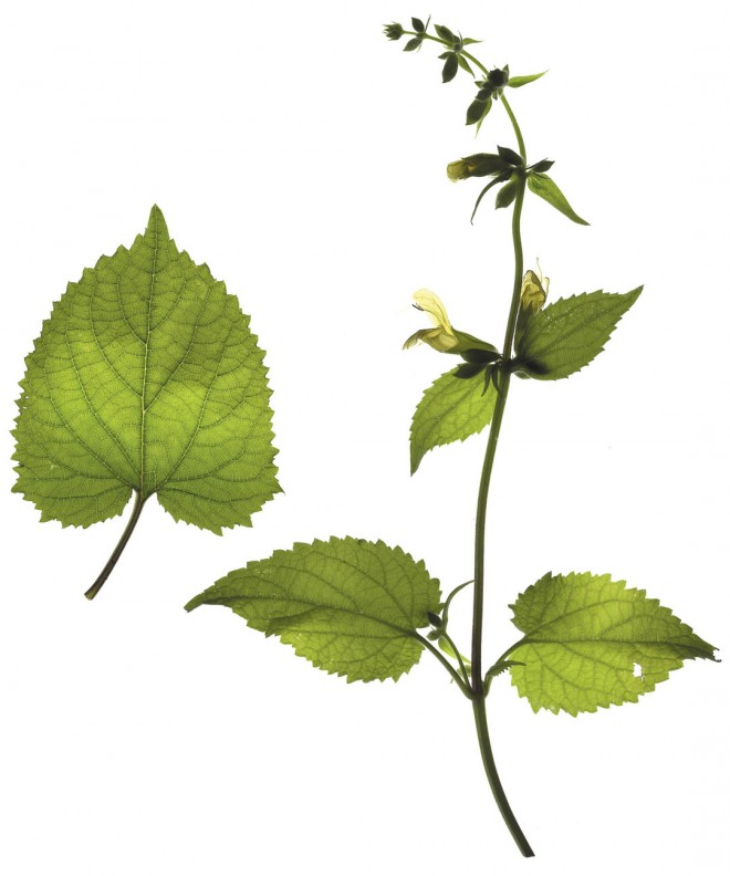 Salvia koyamae