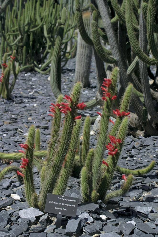 Cleistocactus samaipatanus. Photographs by Steven Timbrook