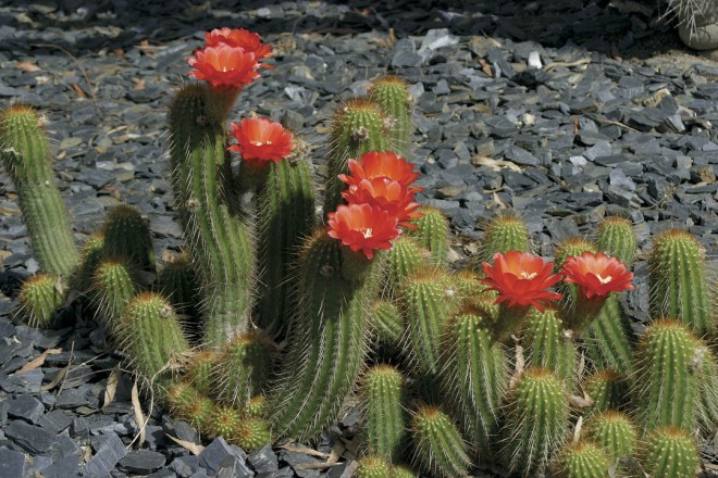 A scarlet-flowered Echinopsis species