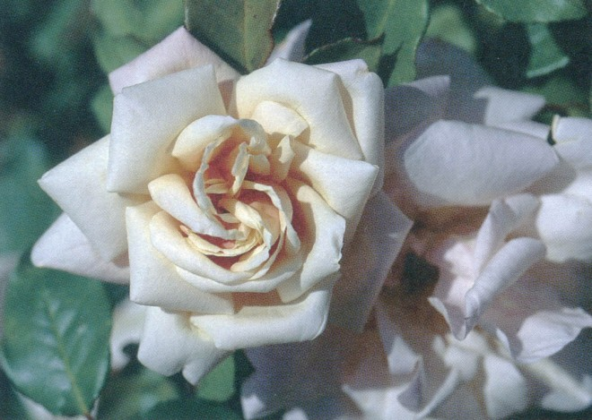 Rosa 'Safrano'. Photographs by William Grant