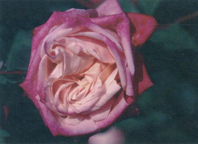 Rosa 'Niles Cochet'