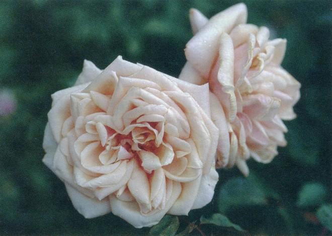 Rosa 'Adam'