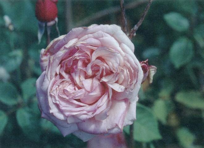 Rosa 'Maman Cochet'