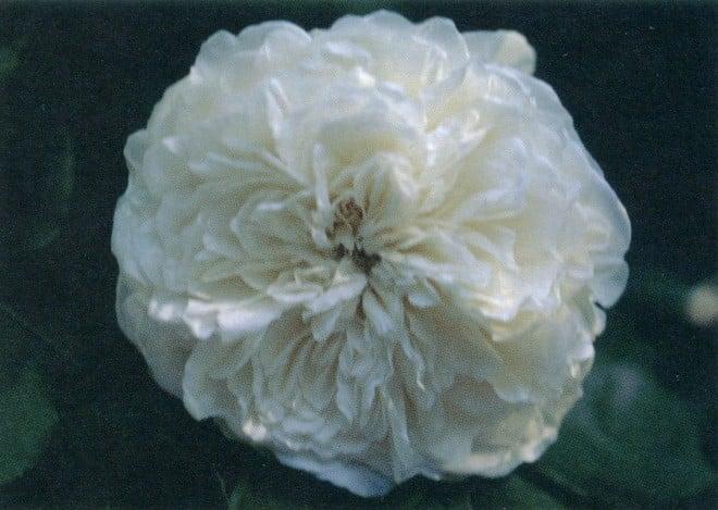 Rosa 'Sombreuil'
