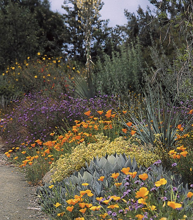 The California natives in this mixed border at the Leaning Pine Arboretum, Cal Poly, San Luis Obispo, benefit from the improved drainage of a raised bed. Photograph by David Fross
