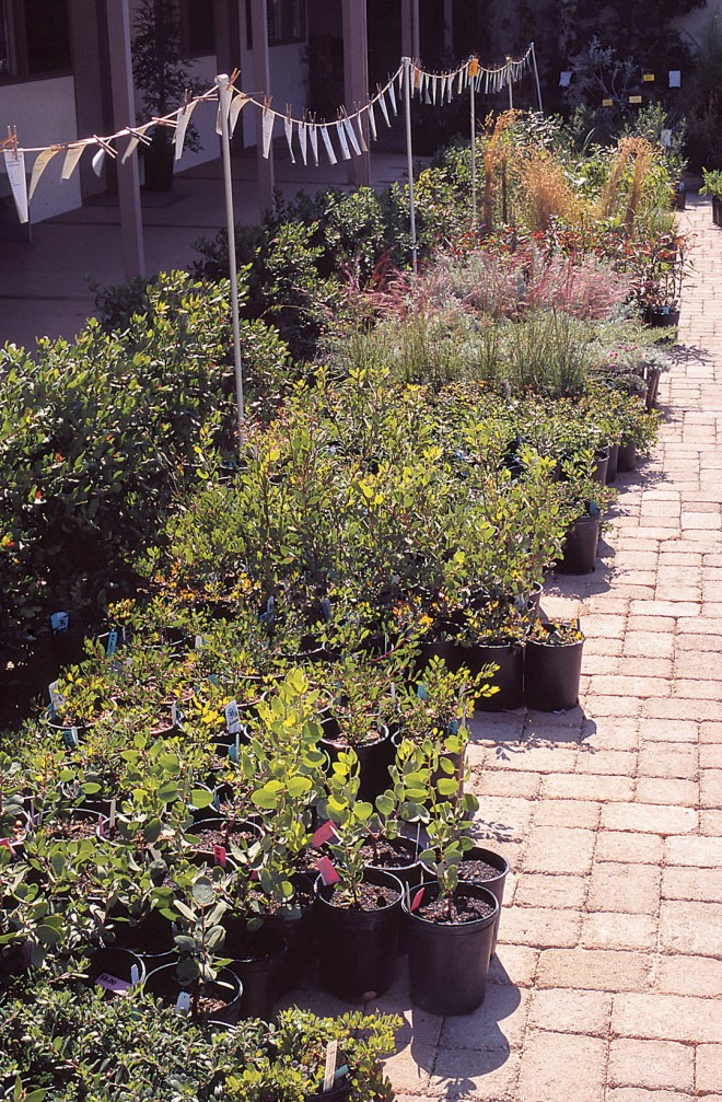 Native plants not carried by retail nurseries are often found at specialty nurseries or plant sales, such as this fall sale at the Santa Barbara Botanic Garden. Photograph by John Evart