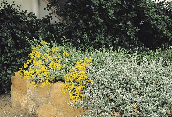 Saffron buckwheat (Eriogonum crocatum), growing over a retaining wall in Montecito, is an example of a plant from a specialized habitat that can thrive in home garden soils. Photograph by Stephen Ingram
