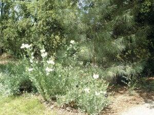 Oaks, pines, and Matilija poppies (Romneya coulteri) in the California Garden