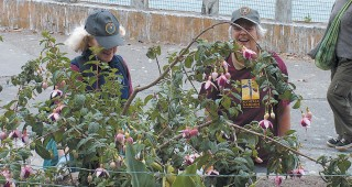 Volunteers tending a hybrid fuchsia on Alcatraz Island. Photograph by Marielle Lumang