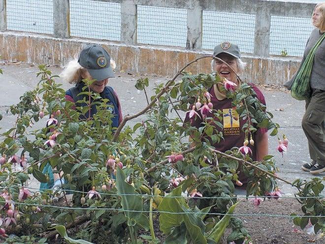 Volunteers tending a hybrid fuchsia on Alcatraz Island. Photograph by Marielle Lumang