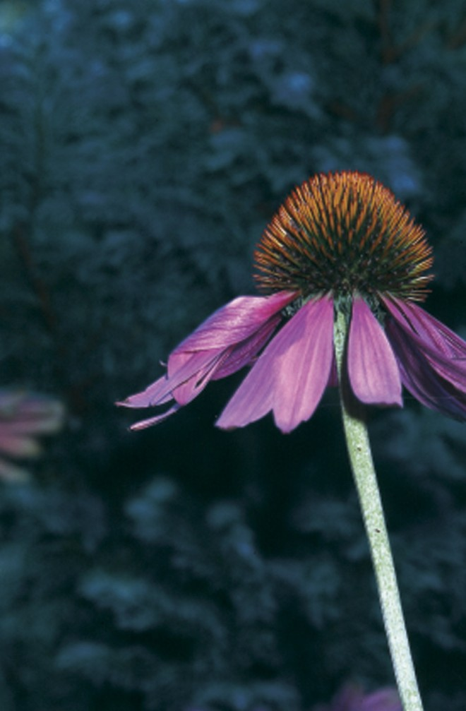 Plant for wildlife: invite pollinators to your garden's nectar sources with plants like Echinacea purpurea