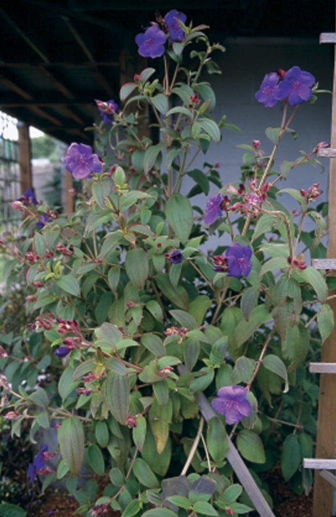 Princess flower (Tibouchina urvilleana)