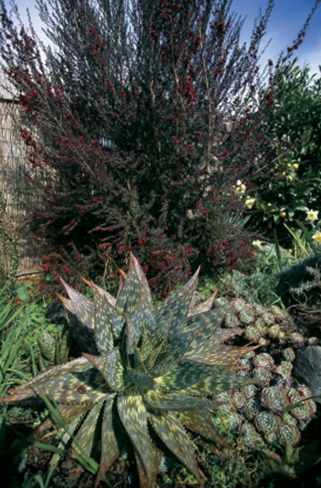 Aloe saponaria, echeverias, and New Zealand tea tree (Leptospermum scoparium 'Ruby Glow') - See more at: http://www.pacifichorticulture.org/articles/the-northwest-garden-in-winter/#sthash.iIsxX6Q2.dpuf