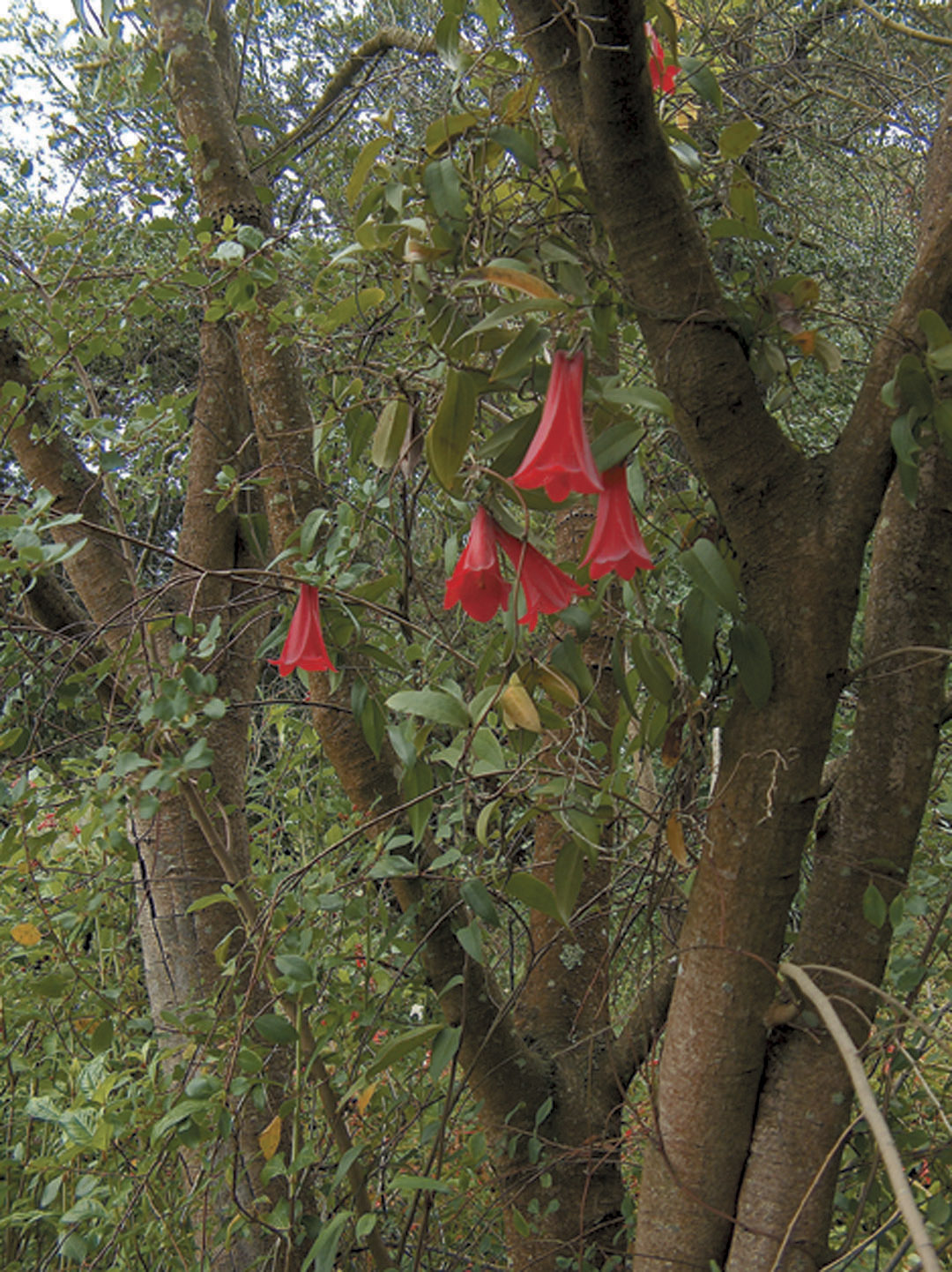 The Wild Form Of Chilean Bellflower (Lapageria Rosea) Climbing On The  Trunks Of Azara