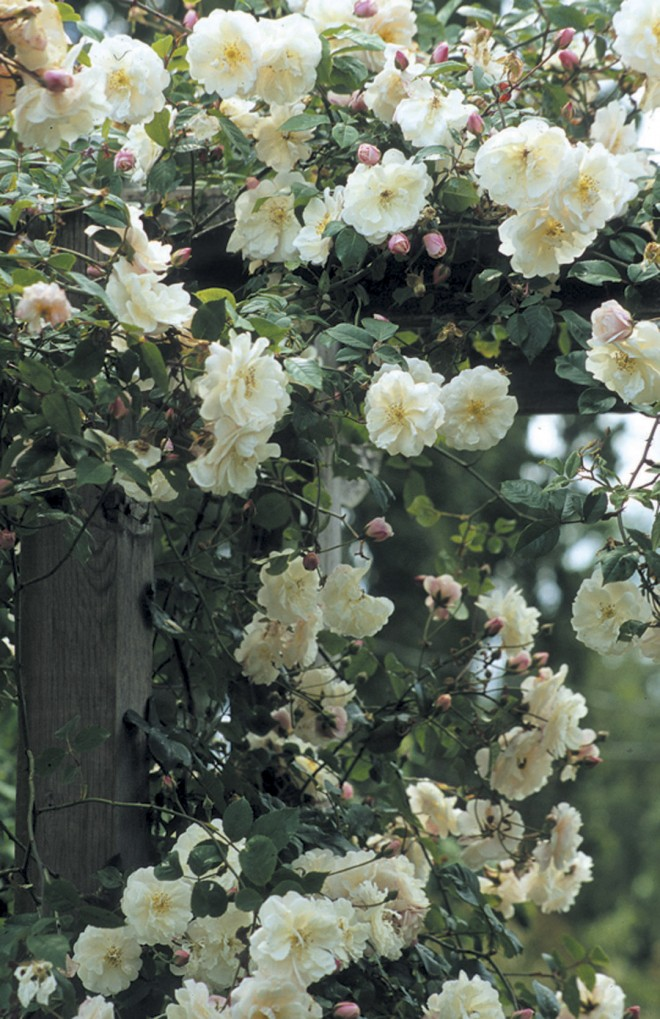 Rosa 'Adélaïde d'Orléans' in full flower on a pergola - See more at: http://www.pacifichorticulture.org/articles/great-plant-picks-rambler-roses/#sthash.x53h9oPI.dpuf