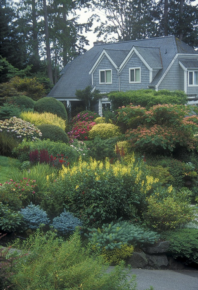 View from the bottom of the driveway across the garden to the front of the Johanson house, showing the layers of plantings in full bloom in summer. The yellow of Phygelius flowers is echoed in the yellow foliage of various conifers; pink and red flowers are roses, hydrangeas, and mimosa (Albizzia julibrisson). Tucked within are blue green conifers and euphorbias. Photographs by Terry Moyemont