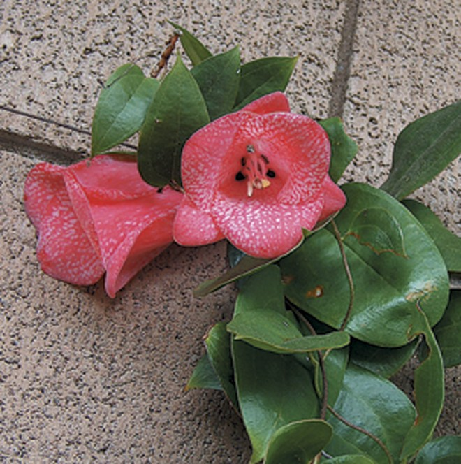 The speckled blossoms of Lapageria rosea 'Mission Lace' - See more at: http://www.pacifichorticulture.org/articles/ilapageria-roseai/#sthash.LvgeHL7o.dpuf
