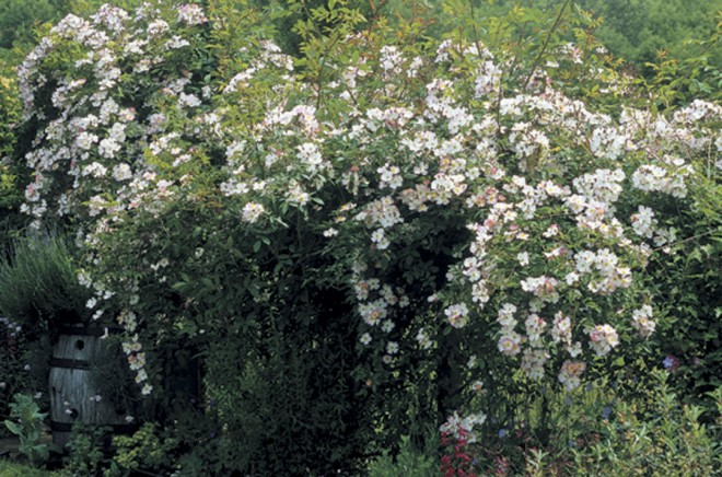 Rosa 'Francis E Lester', a climbing hybrid musk rose. Photographs by Richie Steffen, courtesy Great Plant Picks - See more at: http://www.pacifichorticulture.org/articles/great-plant-picks-rambler-roses/#sthash.x53h9oPI.dpuf
