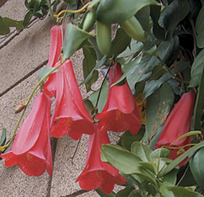 Lapageria rosea 'Beatrix Anderson'
