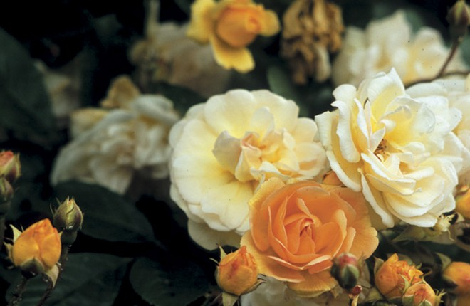 Rosa 'Ghislaine de Féligonde', a multiflora rambling rose - See more at: http://www.pacifichorticulture.org/articles/great-plant-picks-rambler-roses/#sthash.x53h9oPI.dpuf