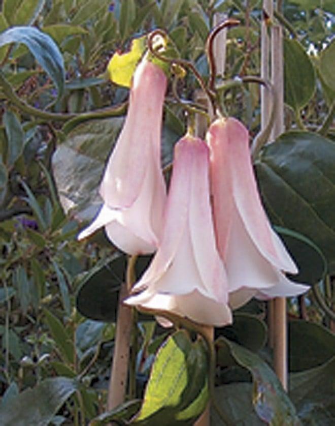 Lapageria rosea 'Cobquecura'