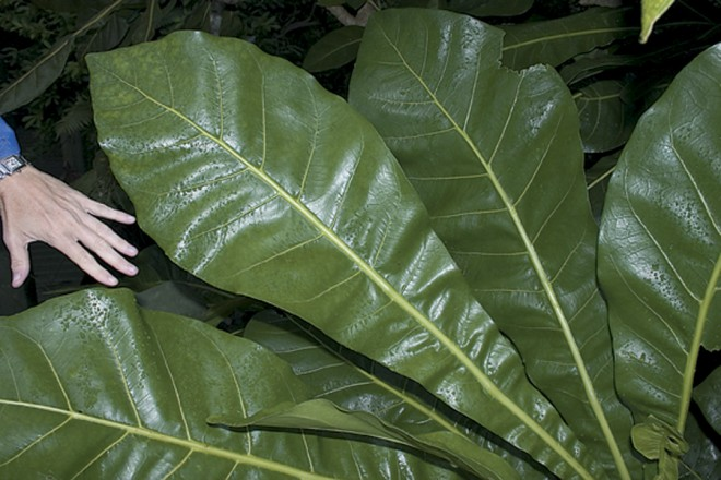 Huge leaves of Meryta latifolia on Norfolk Island