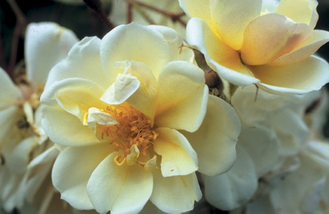 Rosa 'Lykkefund'