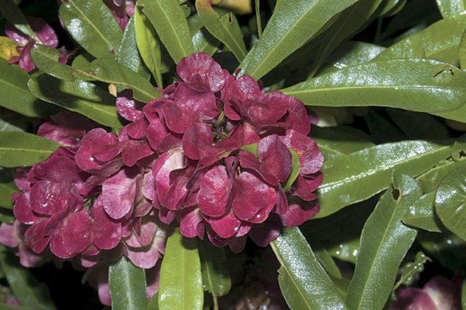 A showy, red-fruited form of hopseed bush (Dodonaea viscosa) on Norfolk Island. Photographs by Donald Hodel, except as noted