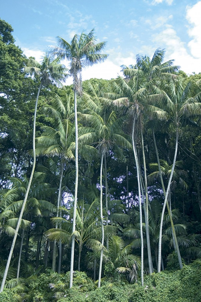 Common in coastal gardens of Southern California, and in office atriums worldwide, kentia palms (Howea forsteriana) dominate much of the lowland forest on Lord Howe Island