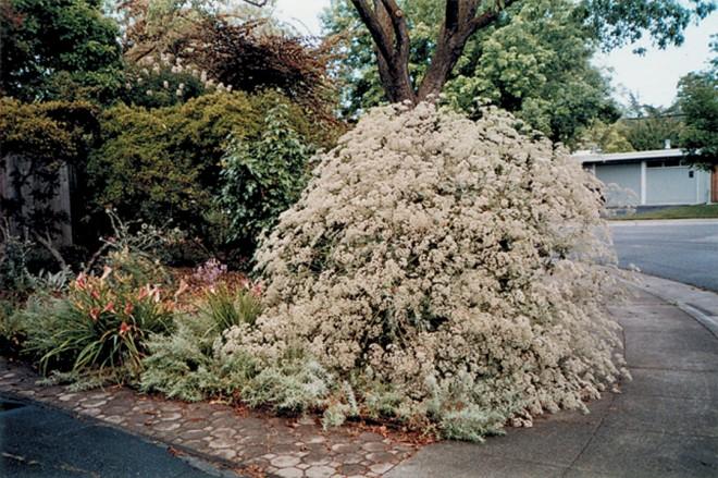 St Catherine's lace (Eriogonum giganteum) is a mid-summer standout in Glenda Jones's front garden. Photograph by Glenda Jones