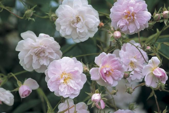 Rosa 'Paul's Himalayan Musk', a rambling musk rose